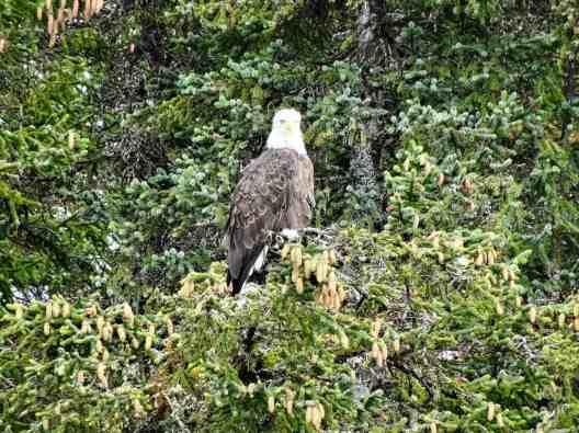 Weisskopfseeadler auf Tanne, Alaska (M. Schäfer)