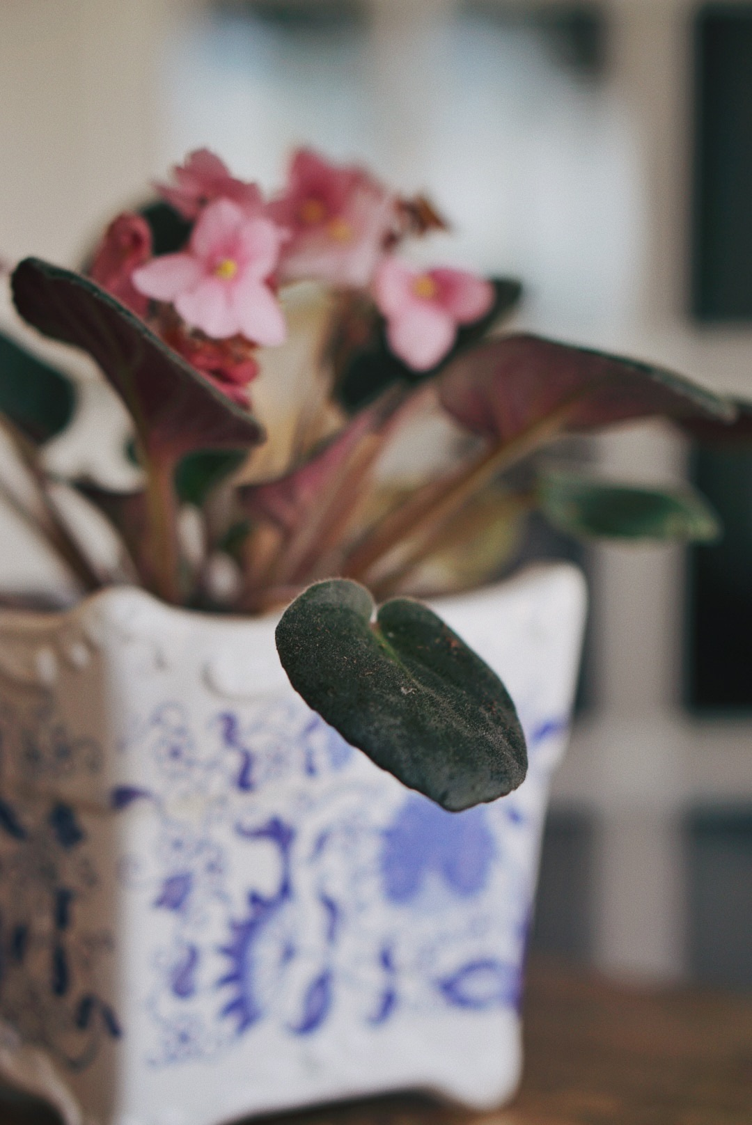 how to keep focused, flowers, house plants, African violets, photography