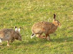European Hares