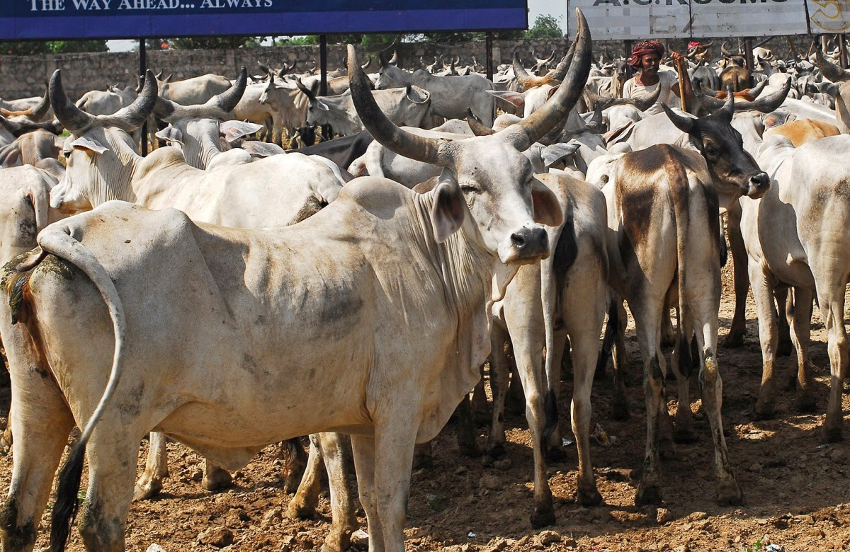 गौ हत्या पर पूरे देश में लगी पाबंदी