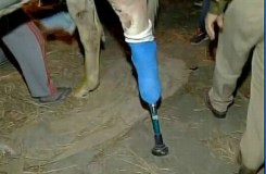'शक्तिमान' को लगा कृत्रिम पैर, बीजेपी विधायक गिरफ्तार