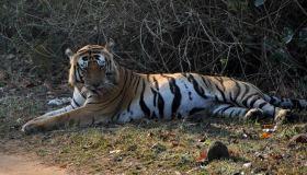 गर्दिश के दौर से गुजर रहा मशहूर टाइगर मुन्ना