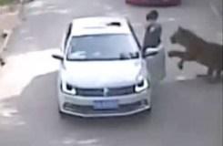 VIDEO: कार से निकली महिला, जिंदा खा गया बाघ