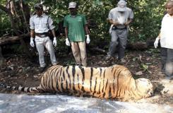 कान्हा टाइगर रिज़र्व में किंगफ़िशर टाइगर की मौत