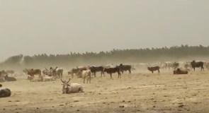 गौशाला के अभाव में भूखी-प्यासी मर रही गाय
