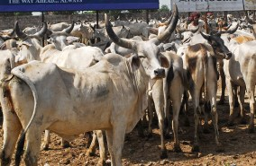 india-cows-Photo