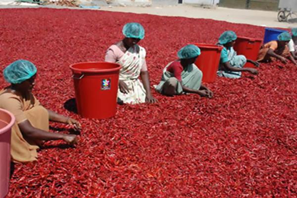 red chilli madhya pradesh mandi
