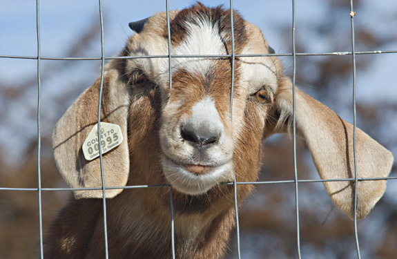 goat-in-jail