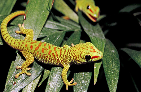 Gecko clearance sale: Pet trade is jeopardizing survival of rare reptile species