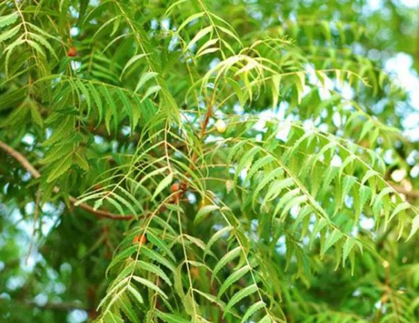 Medicinal-properties-and-uses-of-Neem-need-to-know