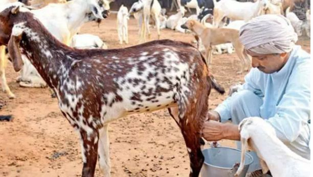Goats-milk-will-be-eradicated-from-the-root-by-drinking-continuously-for-20-days-once-read