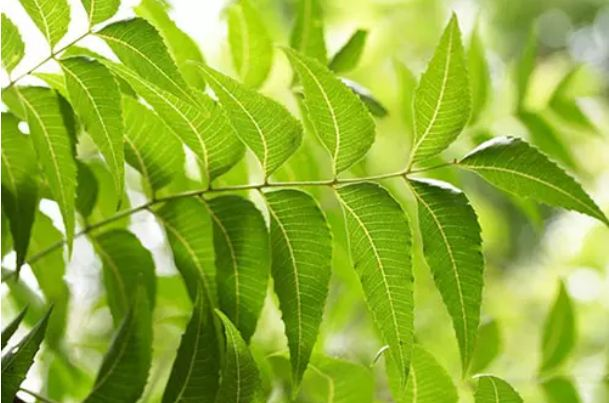 Do-you-know-about-the-tremendous-medicinal-properties-of-neem-oil