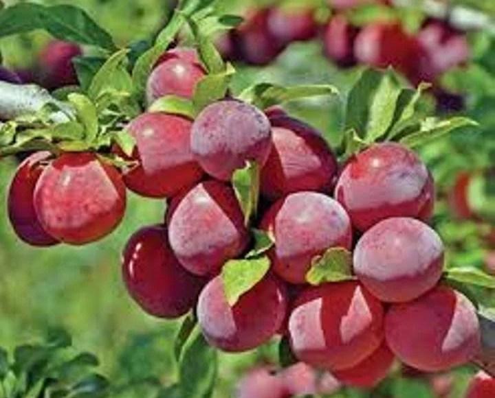 plum-cultivatioq85