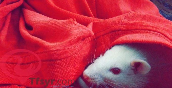 تفسير رؤية الفأر في المنام للعزباء والمتزوجه والحامل