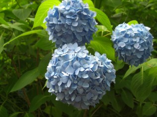 Flower_Hydrangea1_20160611