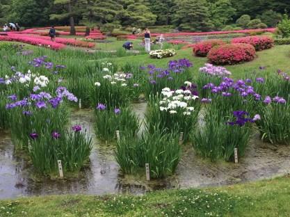 Iris flowers and azaleas