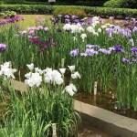 Tokyo Now #2: Japanese irises  in bloom