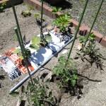 札幌5月下旬の家庭菜園