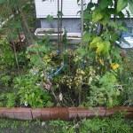 家庭菜園の草取り前