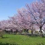 森林総合研究所の桜並木