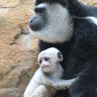 Colobus monkey mother