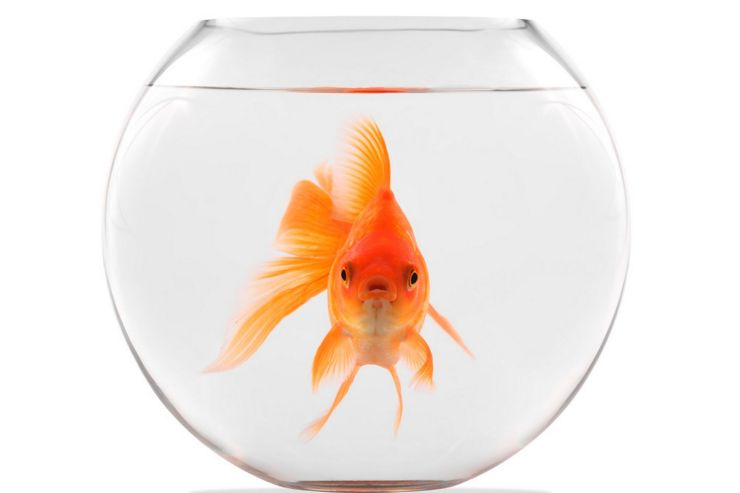 Are we alone? Lone goldfish