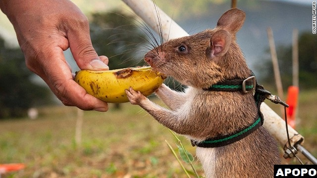 Eating a treat for successfully detecting land mines