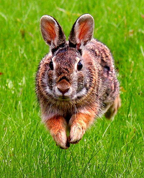 485px-JumpingRabbit