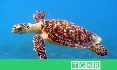 Hawksbill Sea turtle first known bioflourescent reptile by David Gruber