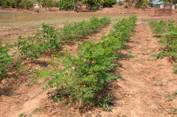 Moringa seedlings ready for distribution at FQM's Kansanshi Foundation nursery.