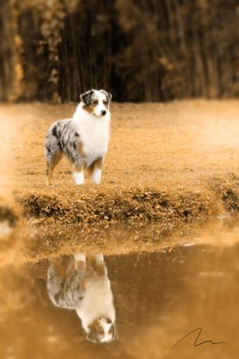 Fotografia do cão da raça Pastor Austraniano