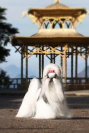 Fotografia cães de todas as Raças: Shih-Tzu