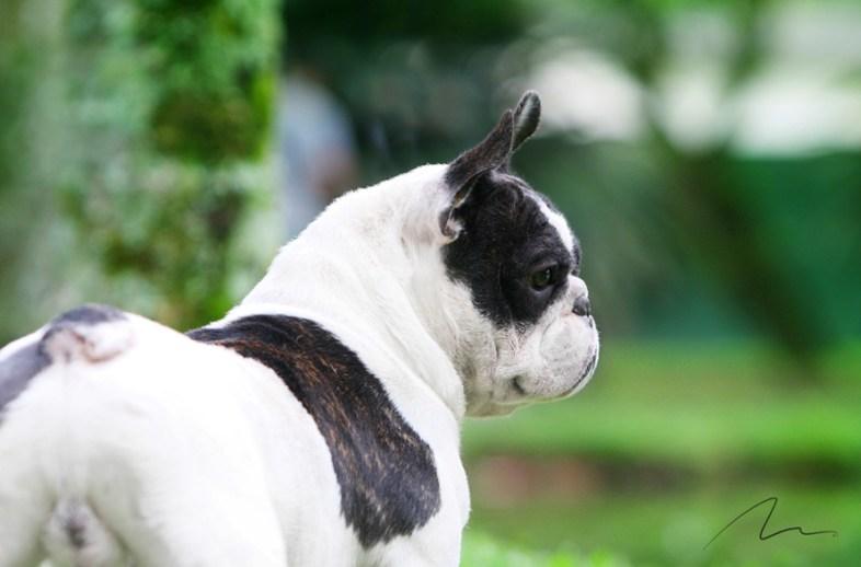 Fotografia bulldog Francês