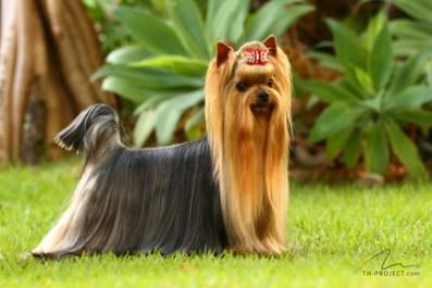 Fotografia cão da raça Yorkshire