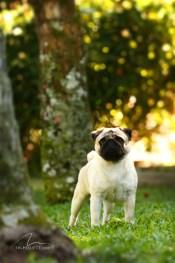 imagem cão da raça Pug