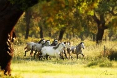 Foto cavalos correndo no pasto.