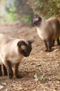 thai_cats