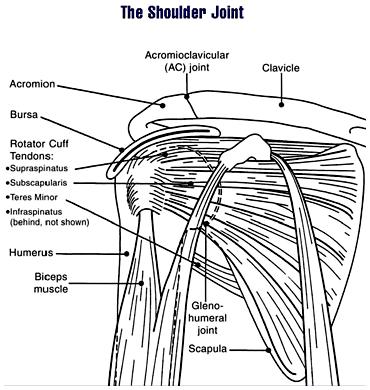 Details of the human shoulder joint