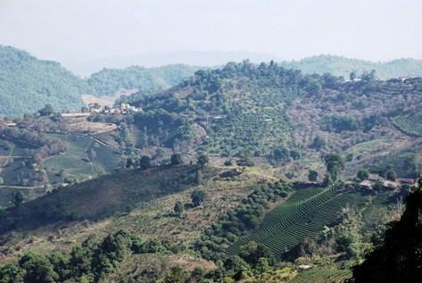 Umgebung von Doi Mae Salong, Thailand, mit Tee-Anbauflächen