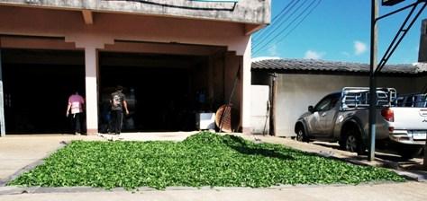 Zukünftiger Oolong N°12 ausgebreitet vor der Teefabrik