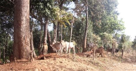 Kühe an der Straße nach Pang Kham