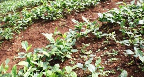 Junge Teepflanzen im Schul-Projekt von Loi Kaw Wan