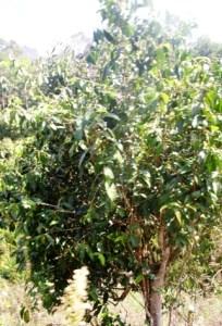 Großer, alter Tee-Baum in Pang Kham, Thailand (3)