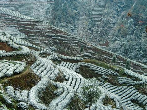 Schnee auf Tee: Schneebedeckte Teeplantagen in Yunnan, China