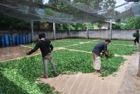 Ausgebreitete Teeblätter vor der Tee-Fabrik in Doi Wawee, Thailand