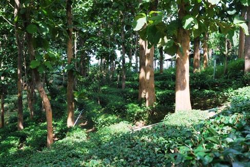 Royal Development Project Doi Tung, Ban Si Phan Rai Teegärten, Wald-Teegarten