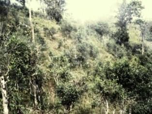 Teegarten mit wilden Teebäumen in Nordthailand