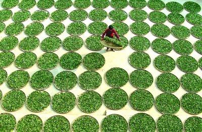 Sonnentrocknung von Tie Guan Yin Teeblättern in Anxi, Provinz Fujian, China
