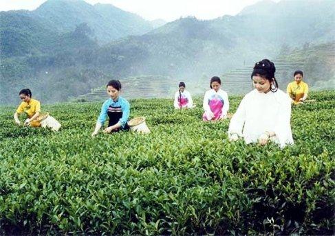Frauen in Anxi, Fujian, bei der Tie Guan Yin Ernte