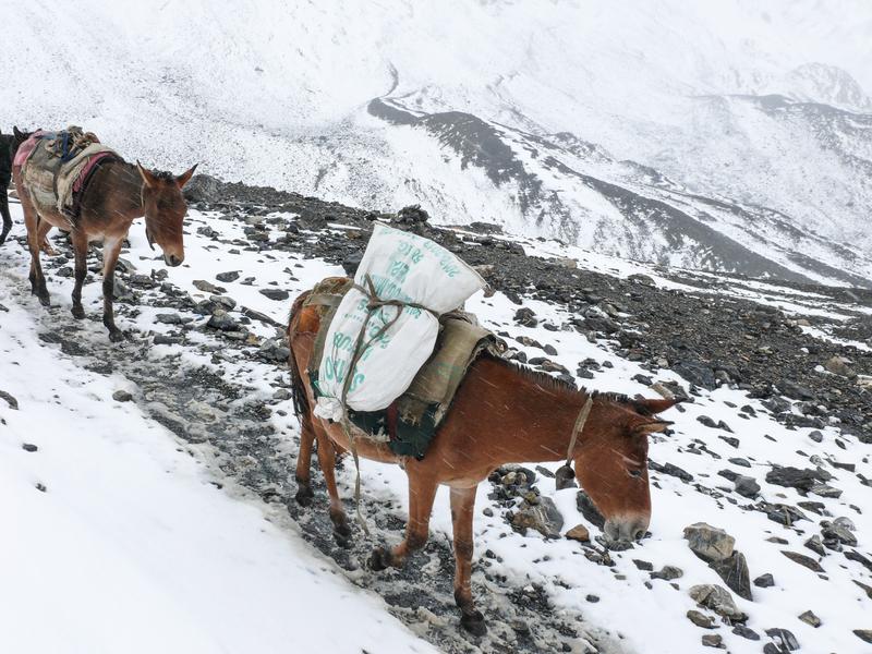 Maultier-Karawane auf einem alten Tee-Pferde-Straßen-Trail in Nepal